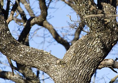 Bluebird Arrowhead Oak