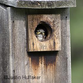 Bluebird Baby Watching