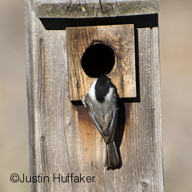 Bluebird Chickadee Intruding