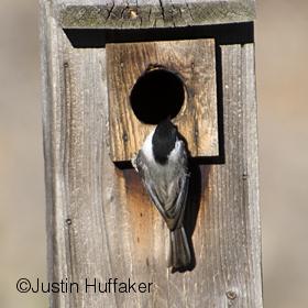 Bluebird Chickadee Intruding