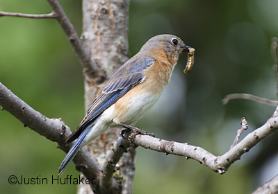 Bluebird Female Feeding