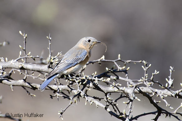 Bluebird Female Nesting