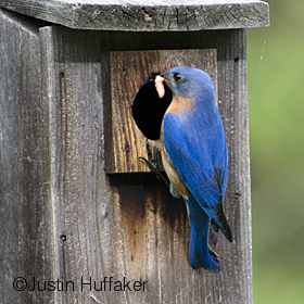Bluebird Male Feeding