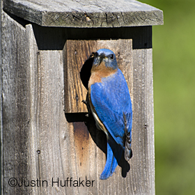 Bluebird Male Guarding