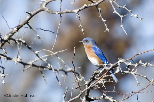 Bluebird Male Perching