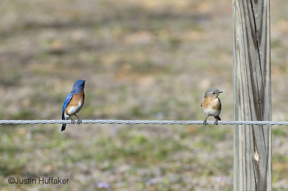 Bluebird Pair Courting 2