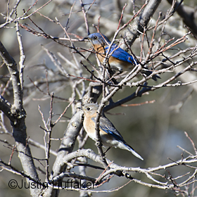Bluebird Pair Courting